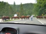 Das war genial, mit einmal springen zwei Almöhies auf die Straße und sperren diese ab. Kurz darauf trotten einige Rindviecher über die Straße :-).